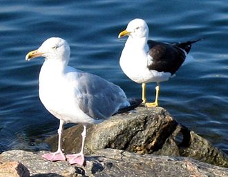 Ring species - Herring gull (Larus argentatus) (front) and a lesser black-backed gull (Larus fuscus) (behind) in Norway: two phenotypes with clear differences