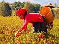 Pa-Oh woman harvesting chilies in Myanmar.jpg