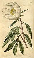 Paeonia lactiflora (P. albiflora) Bot. Mag, 42. 1756. 1815.jpg