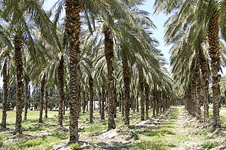 A palm plantation in Galilee in Israel Palm Oil Plantation - Near Tiberias - Galilee - Israel (5710683290).jpg