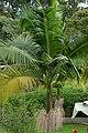 Palma de Cunningham (Archontophoenix cunninghamiana) (14629756132).jpg