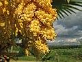 Palmera excelsa - Trachycarpus fortunei (14007619813).jpg
