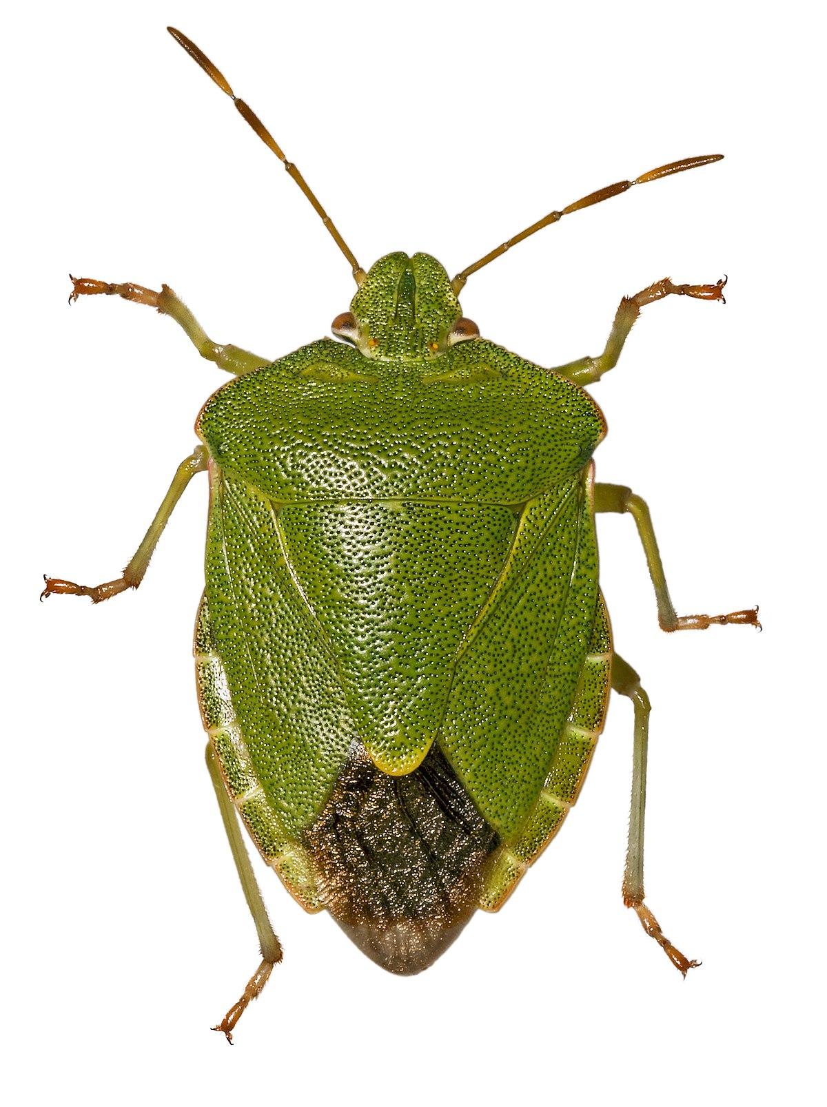 Palomena wikispecies - Insecte vert volant ...