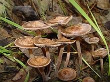 List of psilocybin mushroom species - Wikipedia