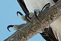 Pandion haliaetus -Sanibel Island, Florida, USA -feet-8.jpg