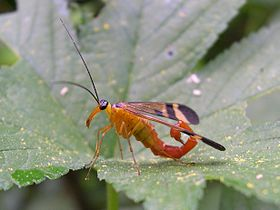 Panorpa japonica 01 male klugi-form.JPG
