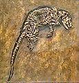Pantolestidae - Buxolestes minor.JPG
