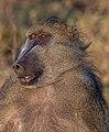 Papión chacma (Papio ursinus), parque nacional de Chobe, Botsuana, 2018-07-28, DD 92.jpg