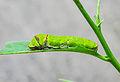 Papilio Polyetes 08062012 (4).jpg