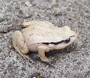 Haswell's frog - Mature Haswell's Froglet