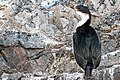 Paradise Bay Bird Antarctica 2 (47284349592).jpg