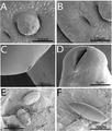 Parasite170054-fig4 Rhadinorhynchus oligospinosus (Acanthocephala).png