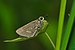 Parnara bada-Kadavoor-2015-08-22-001.jpg