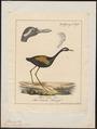 Parra indica - - Print - Iconographia Zoologica - Special Collections University of Amsterdam - UBA01 IZ17500285.tif
