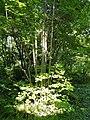 Parrotiopsis jacquemontiana - Botanischer Garten, Frankfurt am Main - DSC03275.JPG