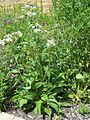Parthenium integrifolium wild quinine MN 2007.JPG