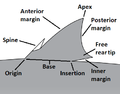Parts of a shark fin.png
