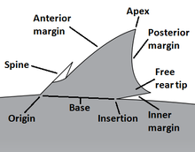 Shark anatomy - Wikipedia
