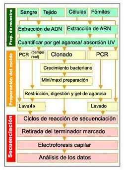 Secuenciaci n del adn wikipedia la enciclopedia libre for En 2003 se completo la secuenciacion del humano