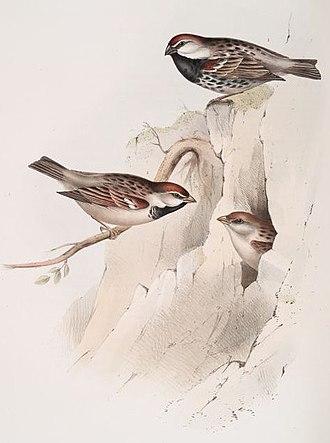 Spanish sparrow - An illustration by John Gould of a male Spanish sparrow (above) and an Italian sparrow pair