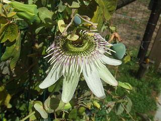 <i>Passiflora gibertii</i> species of plant