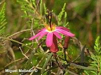 Passiflora hyacinthiflora Planch. & Linden