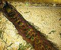Peacock DSC04082.jpg