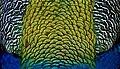 Peacock feathers. (20779300743).jpg