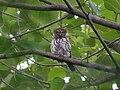 Pearl-spotted owlet Kédougou.jpg