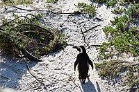 Penguins at Boulders Beach, Cape Town (4).jpg