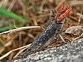 Peninsular Rock Agama (Psammophilus dorsalis) W IMG 9088.jpg