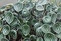 Peperomia Argyreia (Pépéromia d'argent) - 71.jpg