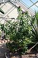 Pereskia grandifolia 24zz.jpg