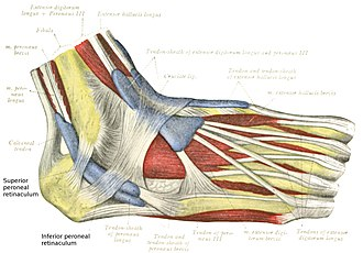 Peroneal retinacula - The mucous sheaths of the tendons around the ankle. Lateral aspect.