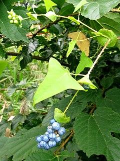 <i>Persicaria perfoliata</i> species of plant