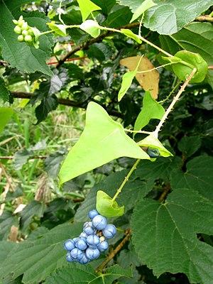 Persicaria perfoliata - Image: Persicaria perfoliata 080922