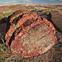 Petrified wood fossil formed through permineralization. The internal structure of the tree and bark are maintained in the permineralization process.