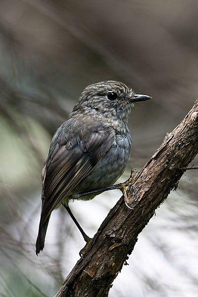 File:Petroica australis 2.jpg