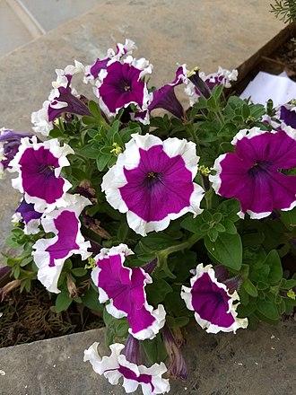 Petunia - Image: Petunia Violet