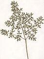 Peucedanum alsaticum Stgbl Herbar.jpg