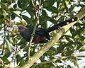 Phaenicophaeus sumatranus (adult) -Singapore-6.jpg