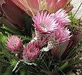 Phaenocoma prolifera -香港花展 Hong Kong Flower Show- (9159963520).jpg
