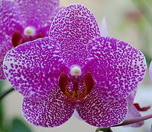 Phalaenopsis flower.JPG