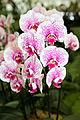 Phalaenopsis hybrid Jonna - Internationale Orchideen- und Tillandsienschau Blumengärten Hirschstetten 2016 a.jpg