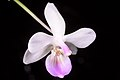 Phalaenopsis lindenii (Luzon, Philippines) Loher, J. Orchidées 6- 103 (1895) (34124690440).jpg
