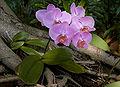 Phalaenopsis purple cultivar 2.jpg