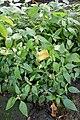 Phaulopsis imbricata-Jardin botanique Meise (1).jpg