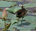 Pheasant-tailed Jacana (Hydrophasianus chirurgus)- Breeding- after bath in an Indian Lotus (Nelumbo nucifera) Pond in Hyderabad, AP W IMG 7874.jpg