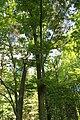Phellodendron japonicum Rogów.JPG
