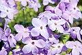 Phlox stolonifera Sherwood Purple 10zz.jpg